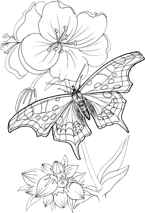 Butterfly Coloring Pages 24 Purple Kitty