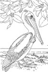 louisiana eastern brown pelican
