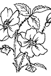 Desert Rose coloring page