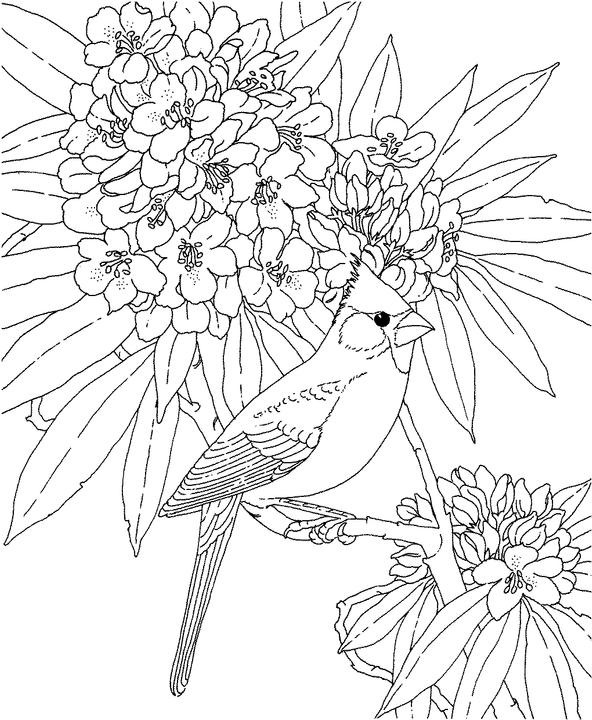 West Virginia Cardinal Coloring Page Purple Kitty